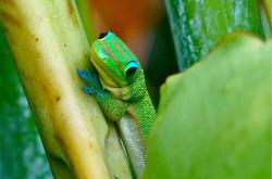 Gecko, Hawaii