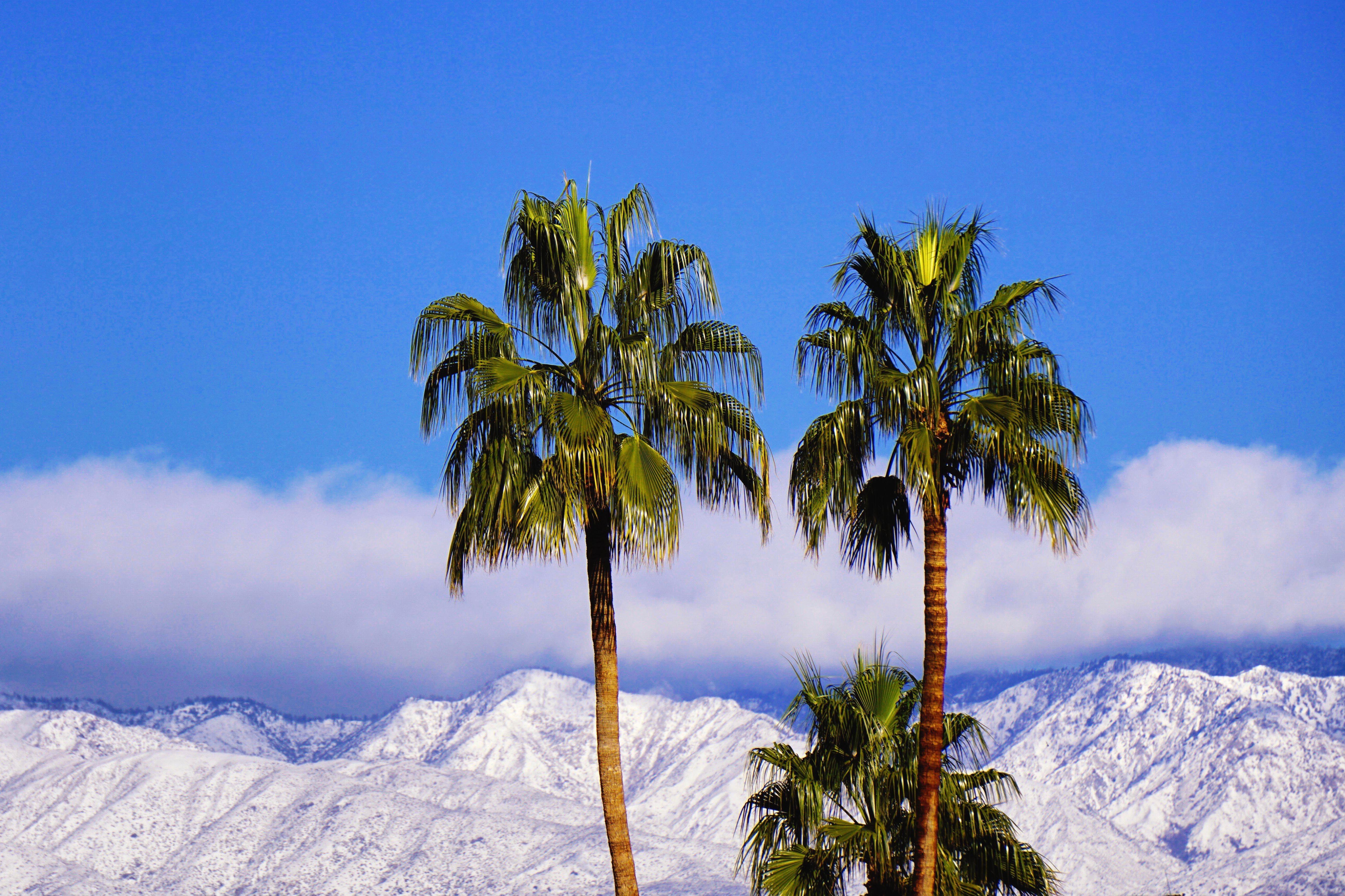 2 Palm Trees, Palm Springs