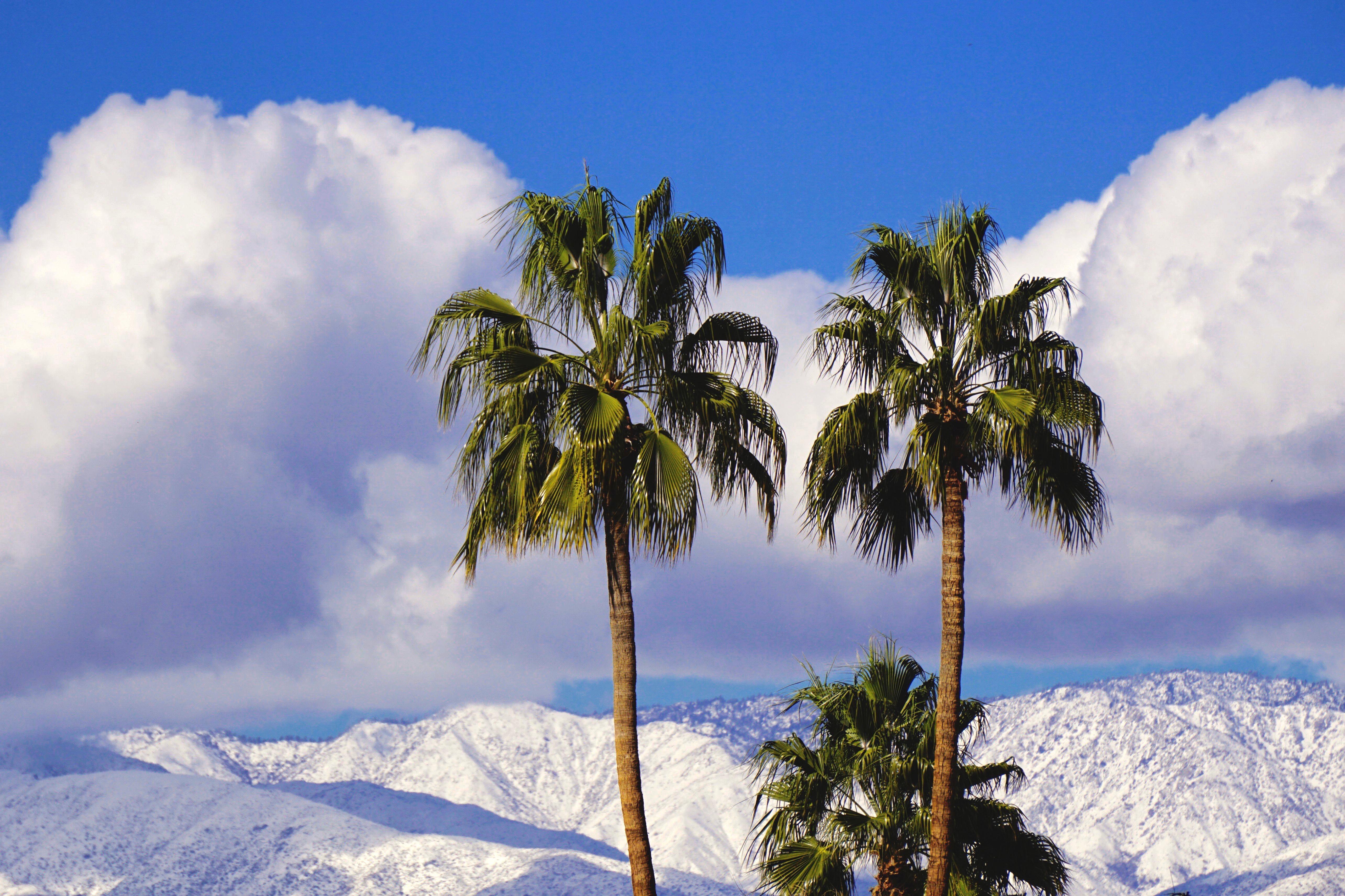 2 Palm Trees, Winter