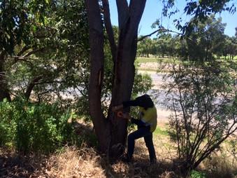 Measuring Black Cockatoo trees