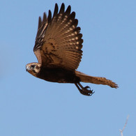 Brown Falcon (6).JPG