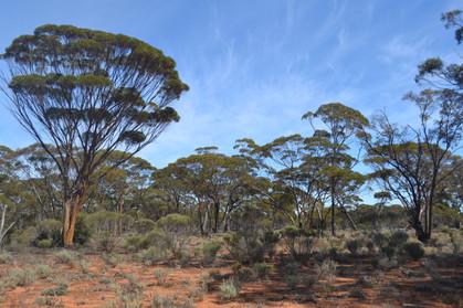 Eucalypt Woodland