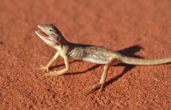 Western Desert Dragon