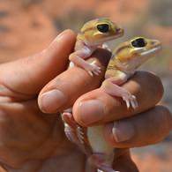 Pale Knob-tailed Gecko