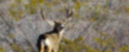 Mule Deer USA