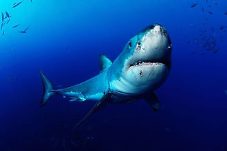 Great White Shark Guadalupe