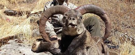 Blue Sheep Nepal