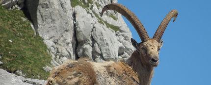 Mid Asian Ibex