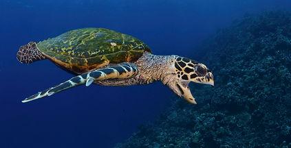 Turtle Indian Ocean