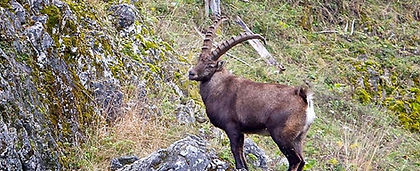 Alpine Ibex Austria