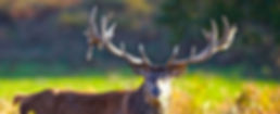 Red Stag England