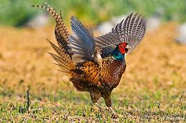 Pheasant Czech Republic