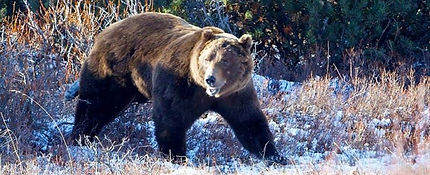 Grizzly Canada