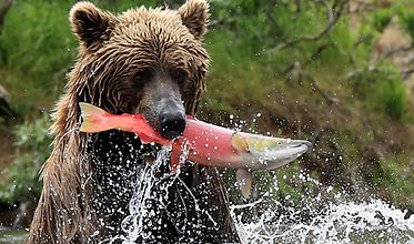 canada salmon run