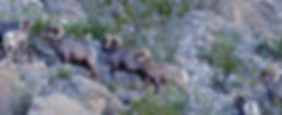 Desert Bighorn Sheep Mexico