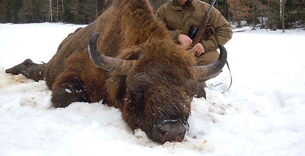 wisent hunting