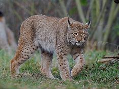 European Lynx Karelia