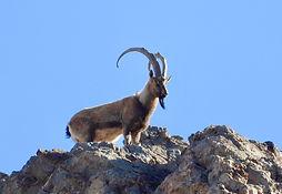 Persian desert ibex.jpeg