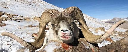 Marco Polo Sheep Tajikistan