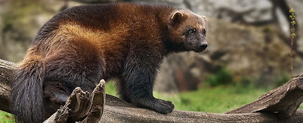 Raccoon dog Finnland