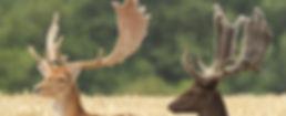 Fallow Deer Hungary