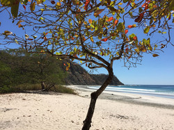 barrigona tree