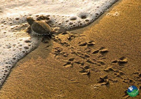 ostional-beach-little-turtle.jpg