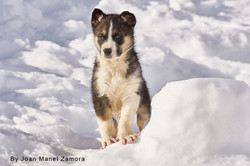 husky puppy dog sled