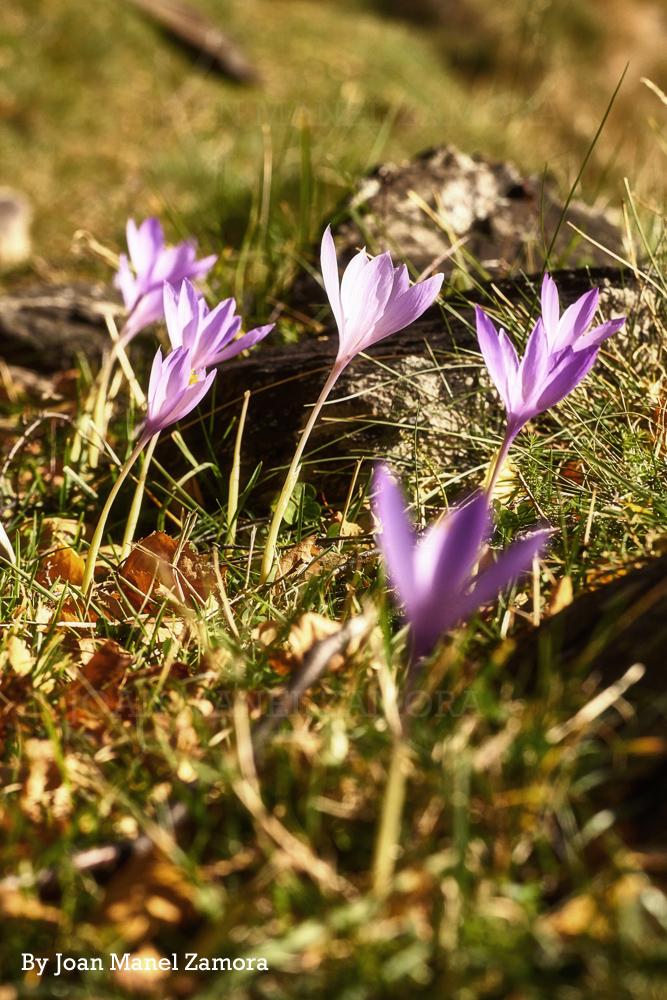 04378 Saffron / Azafran