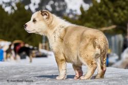 husky - mushing - puppy