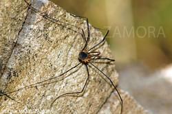 00968  SPIDER