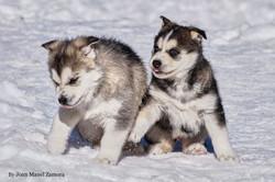 husky - mushing - puppy - Xavi & Sally