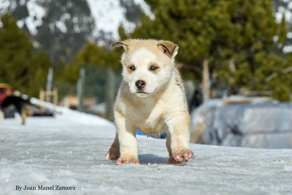 husky - mushing - puppy