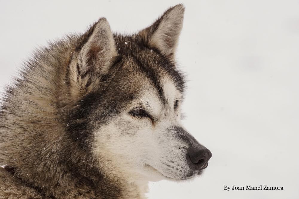 husky - andorra