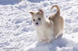 husky - mushing -  Snowy