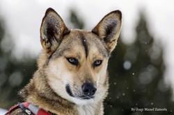 husky - mushing - ingrid