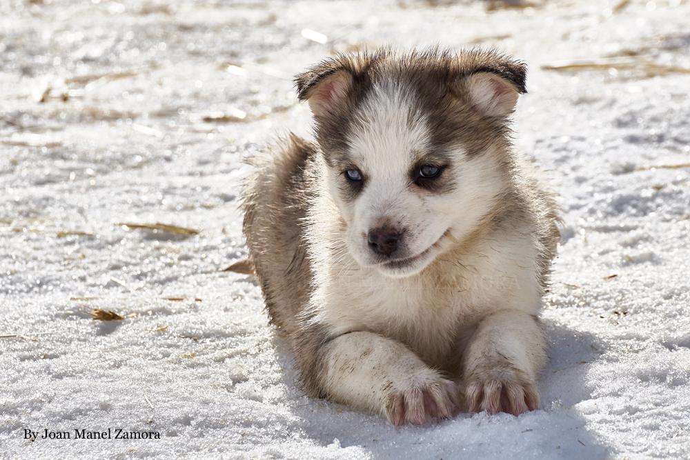 husky - mushing