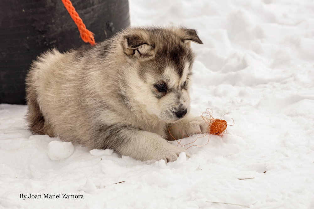 husky - mushing - puppy - Sally
