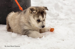 husky - mushing - puppy - Sally