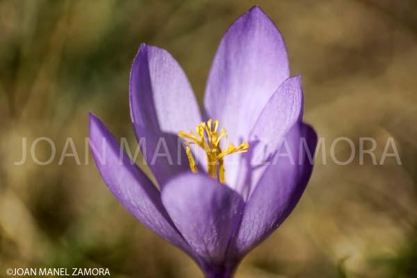 SAFFRON WILD  (Colchicum autumnale)