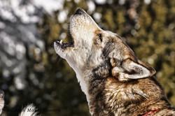 Mushing - Howling