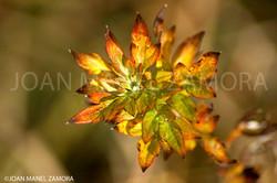 00316 PLANT FLORS D'ANDORRA