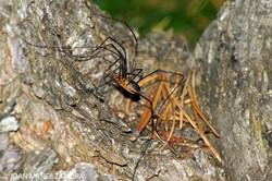 00972 SPIDER