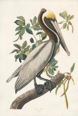 Brown Pelican, Pelecanus Fuscus, Mal