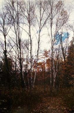 Autumn Birch with Peeking Blue Sky
