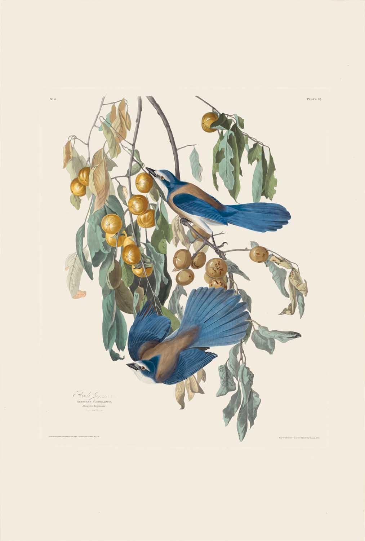 Florida Blue Jay