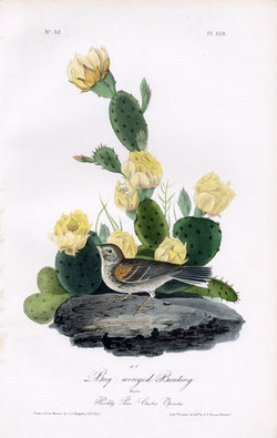 Finch or Bay-wing Bunting