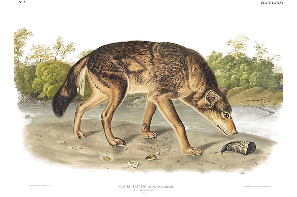 Red Texan Wolf, Canis Lupis