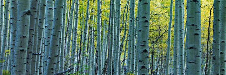 Endless Birches