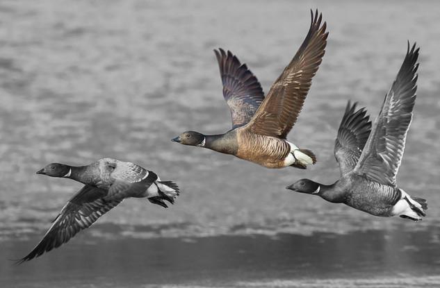 Three Brent Geese